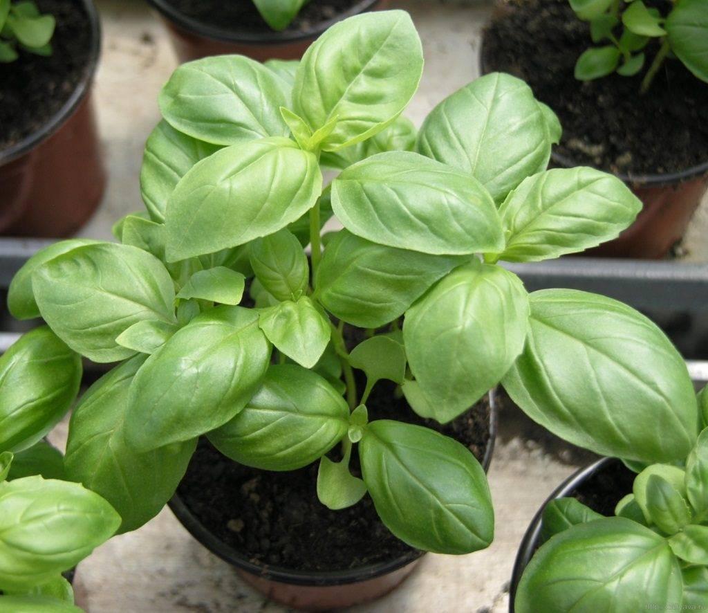 Базилик зеленый фото