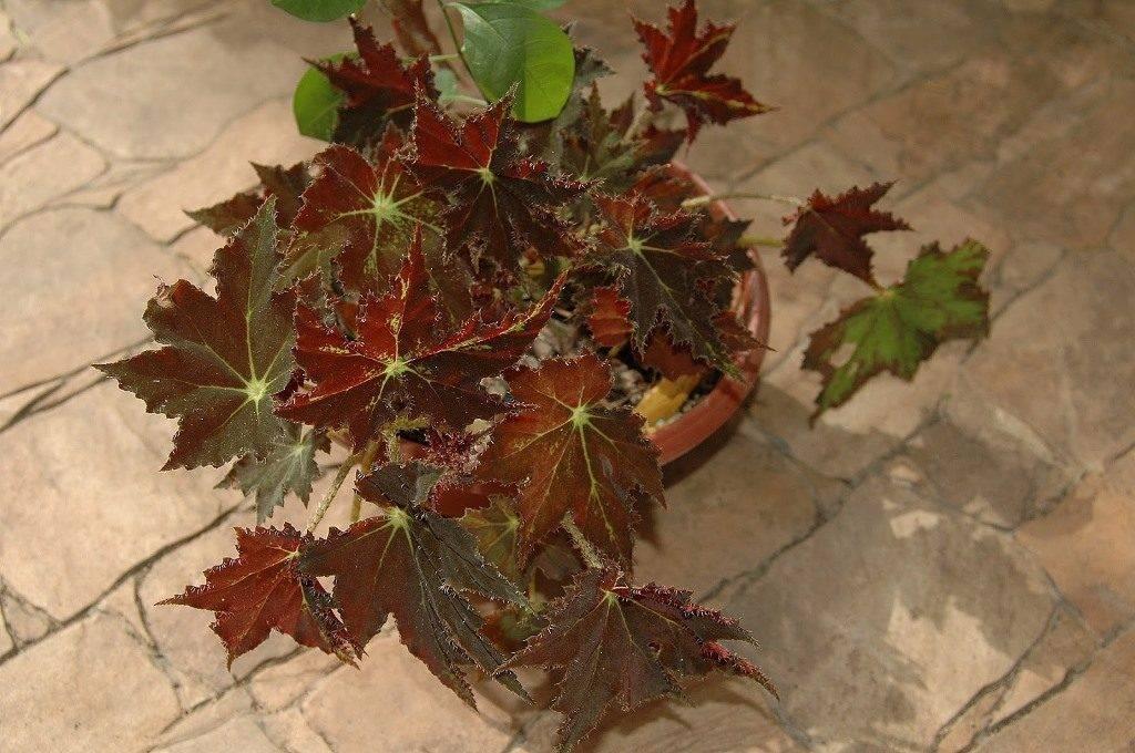 Бегония Клеопатра фото (лат. Begonia cleopatra)