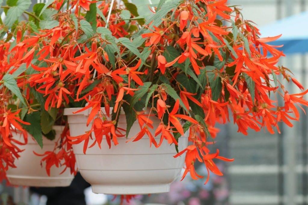Бегония боливийская (лат. Begonia boliviensis) сорт Санта Круз Сансет F1 фото