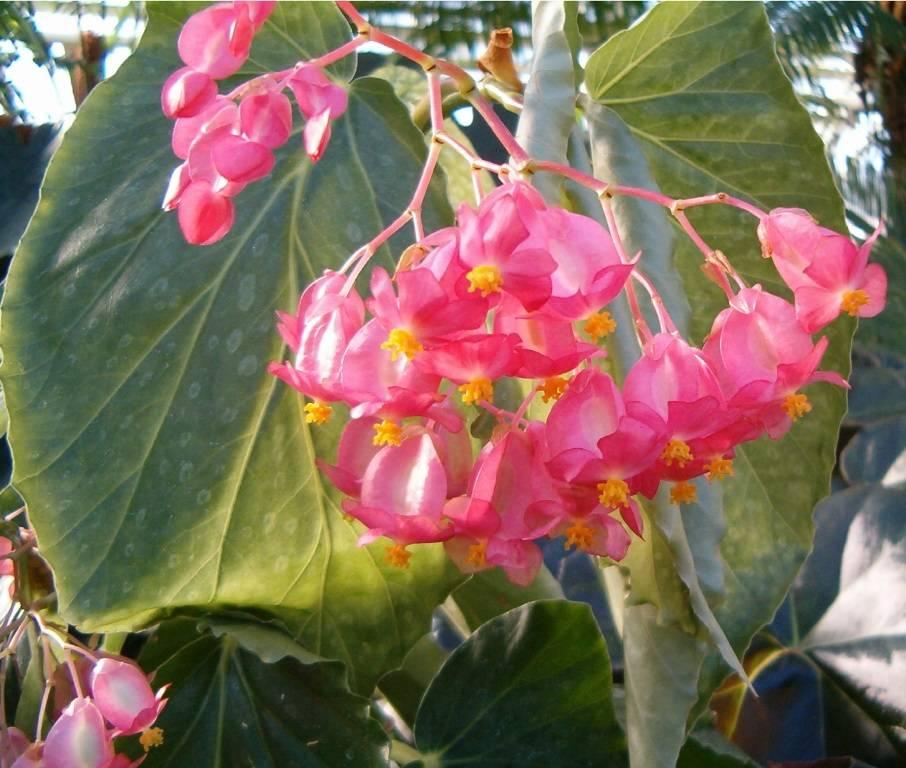 Бегония коралловая фото (лат. Begonia corallina)
