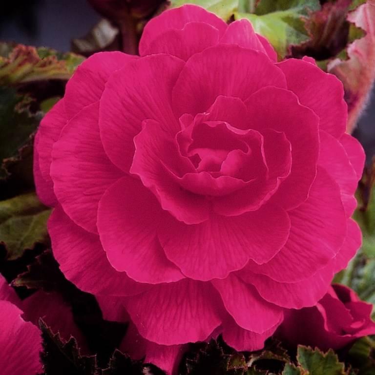 Бегония розовая сорт Дуплет Пинк (Douplet Pink)