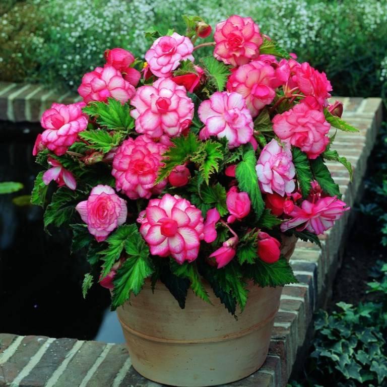 Бегония фото цветов (сорт Double bouton de rose)