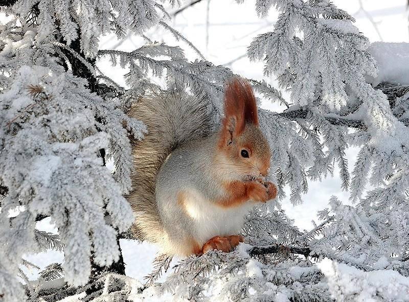 Белка зимой фото