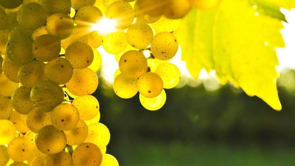 Белый виноград фото