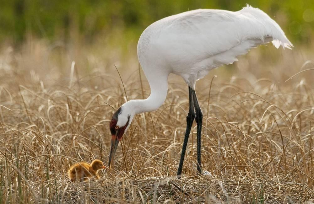 Белый журавль с птенцом фото