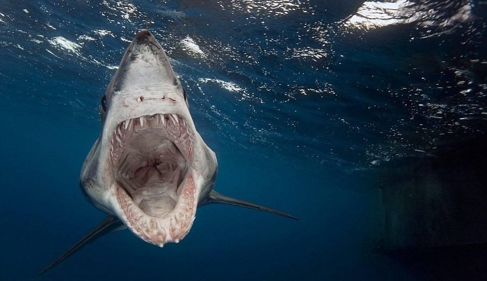 Большая синяя акула