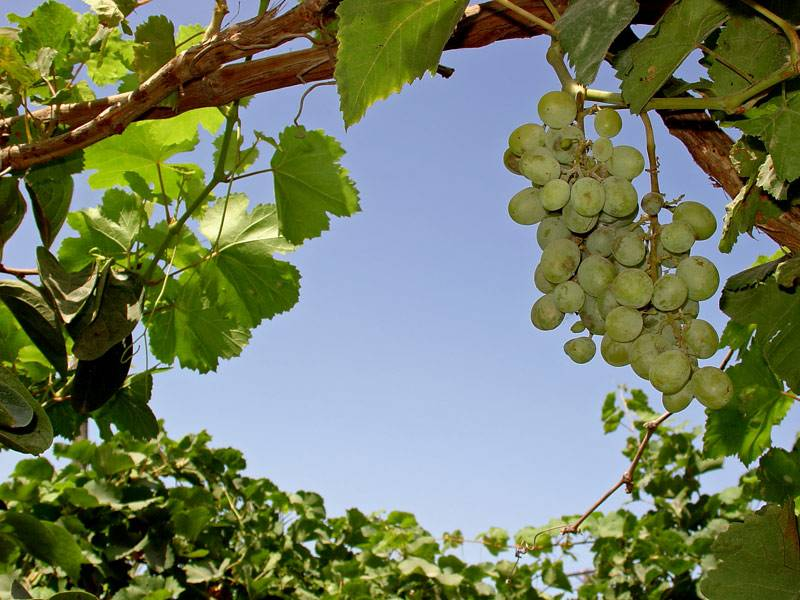 Виноградная лоза фото