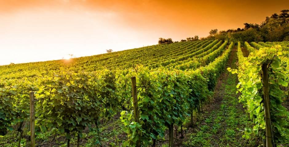 Виноградники фото