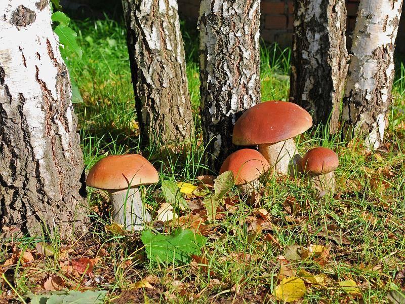 В каких лесах растут белые грибы