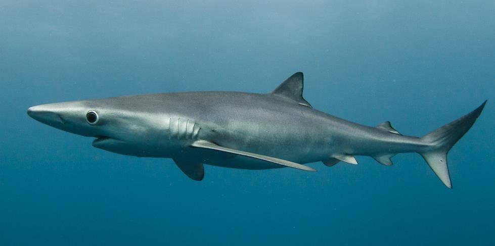Голубая акула фото