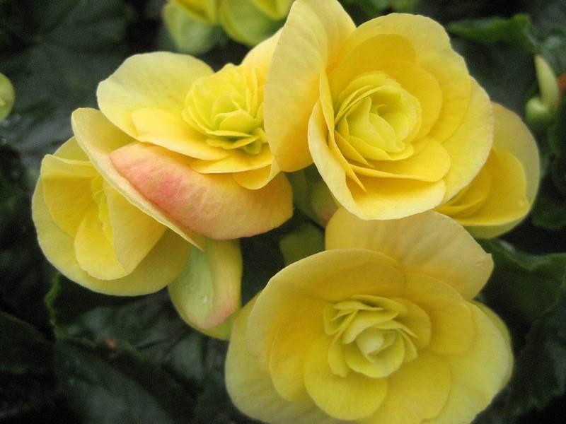 Желтая бегония сорт Надин (лат. Nadine)