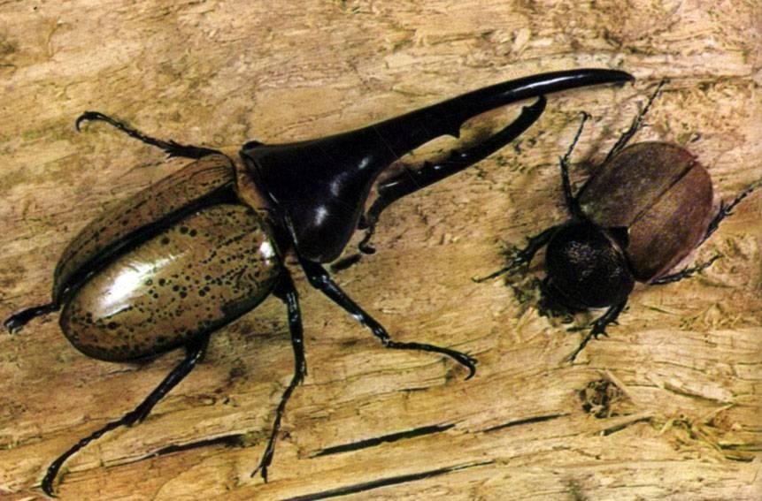 Жук геркулес: самец (слева) и самка (справа)