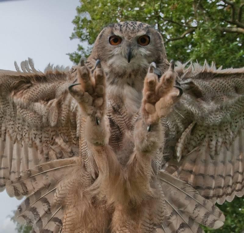 Когти совы фото