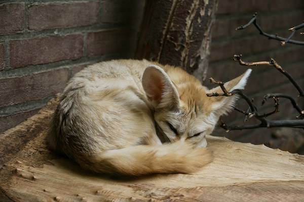 Лисенок фенек спит фото (лат. Vulpes zerda)