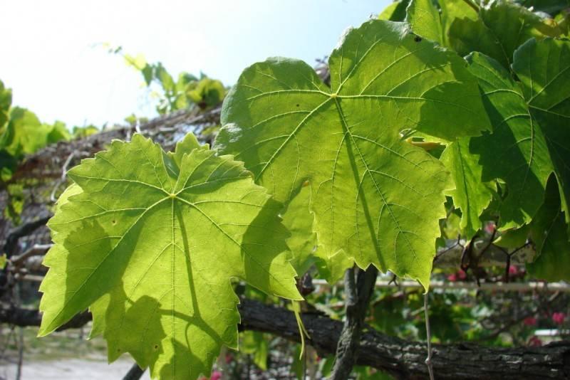 Лист винограда фото