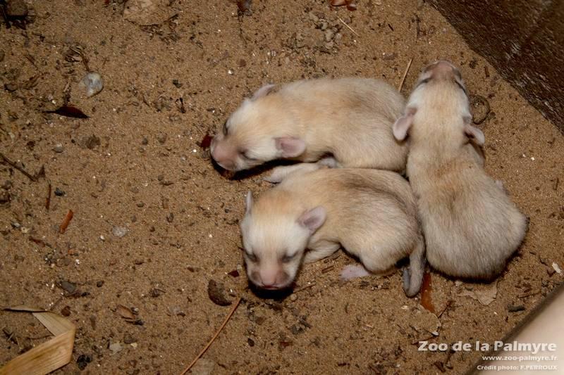 Новорожденные детеныши фенека фото (лат. Vulpes zerda)