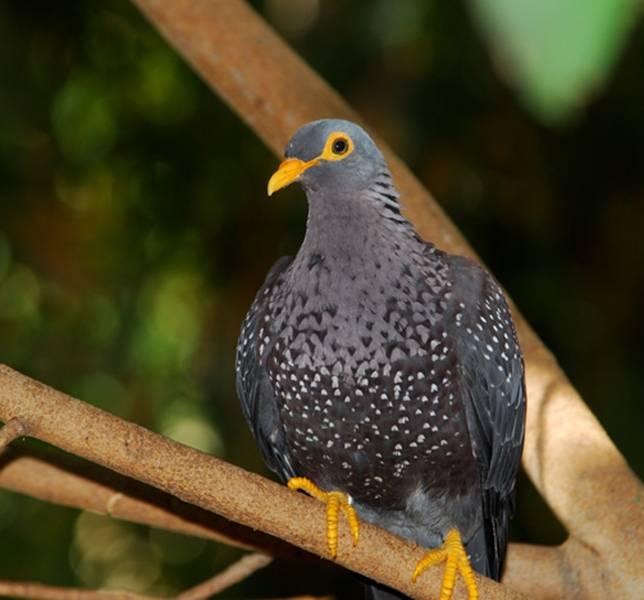 Оливковый голубь