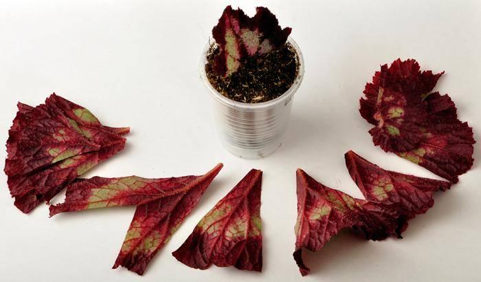 Размножение бегонии частями листовой пластины фото