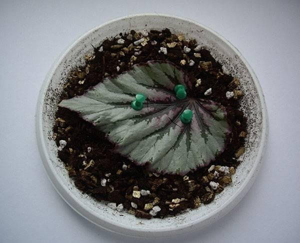 Размножение бегоний целыми листовыми пластинами фото