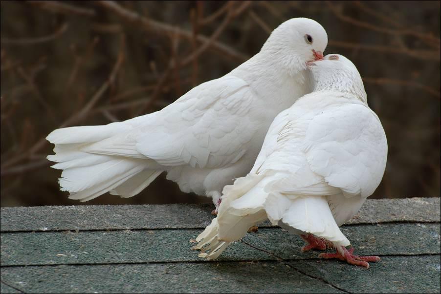 Фото белых голубей