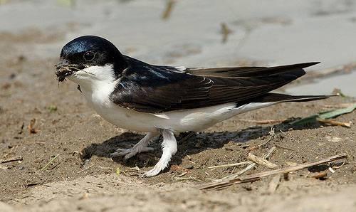 Фото городская ласточка птица перелетная