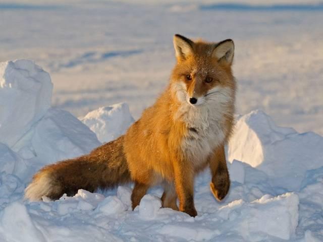 Фото лисица обыкновенная виды