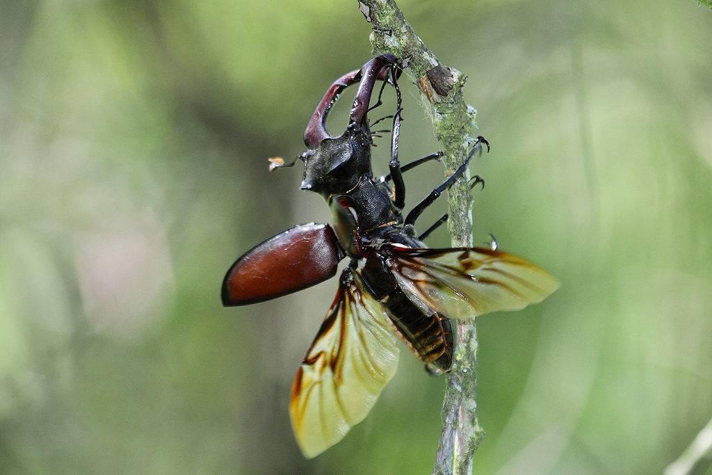 Чем питается жук-олень фото