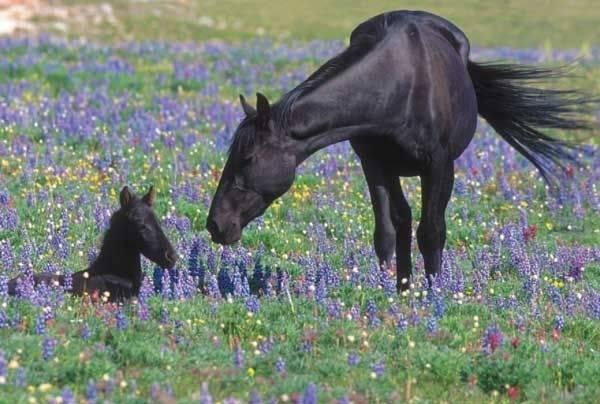 Черный мустанг лошадь фото