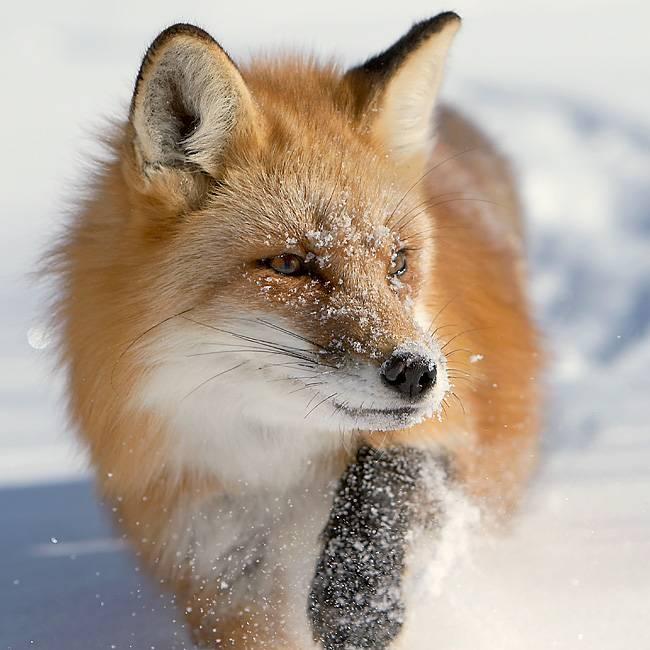 лисица обыкновенная виды фото