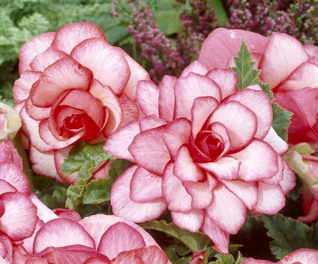 Бегония Бутон де Роуз фото (лат. Bouton de rose)