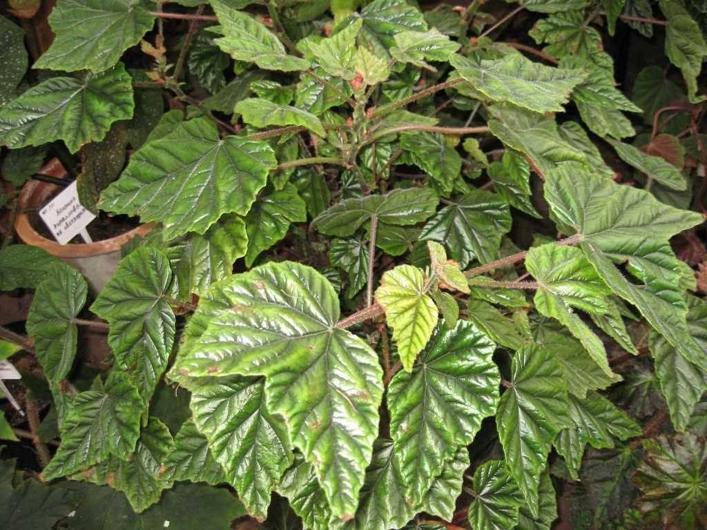 Бегония Металлика (металлическая) фото (лат. Begonia metallica)