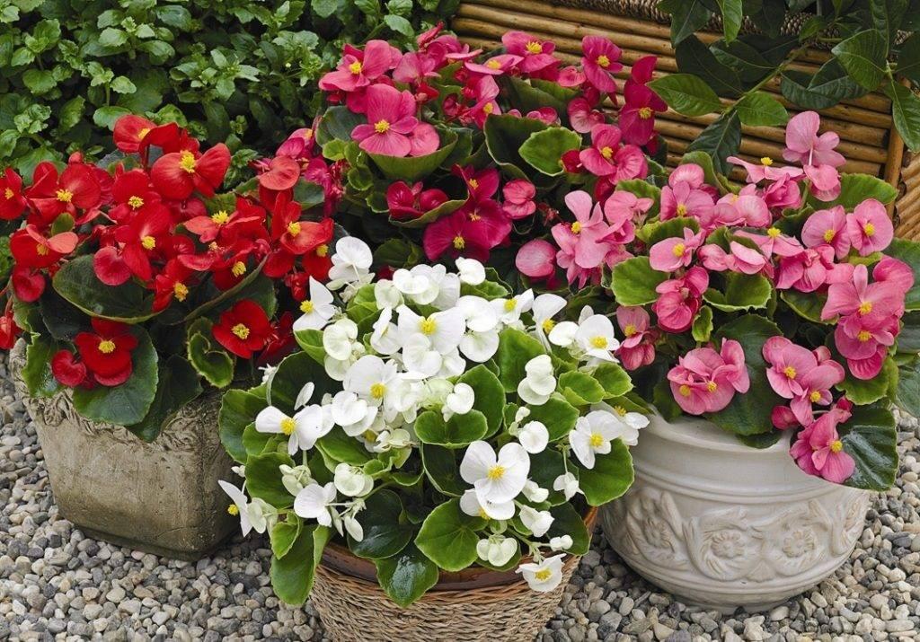 Бегония вечноцветущая фото (лат. Begonia semperflorens)
