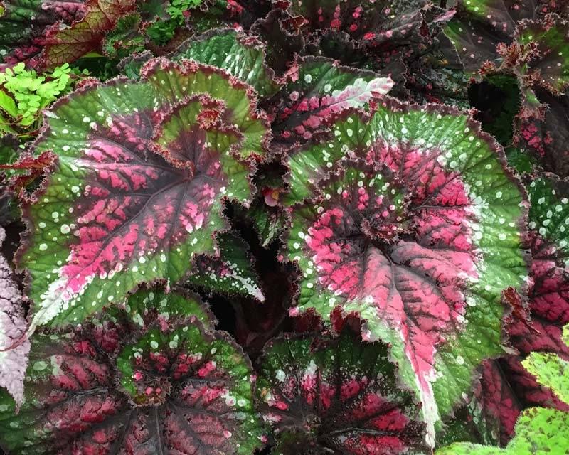Бегония королевская фото (лат. Begonia rex)