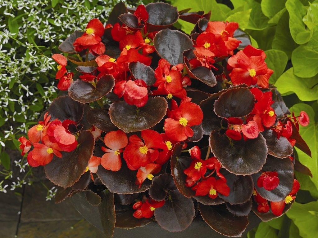 Бегония красная вечноцветущая сорт Eureka