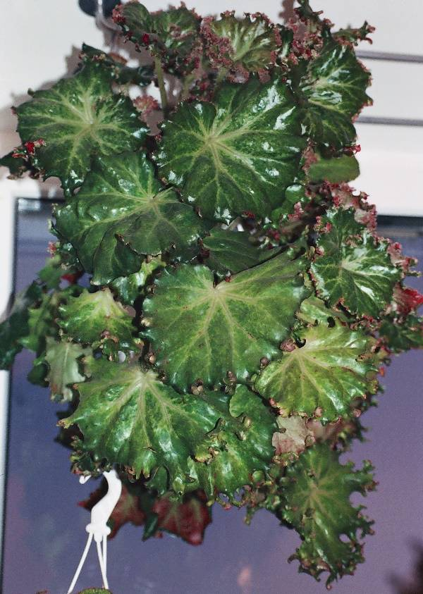 Бегония краснолистная фото (лат. Begonia erythrophylla)