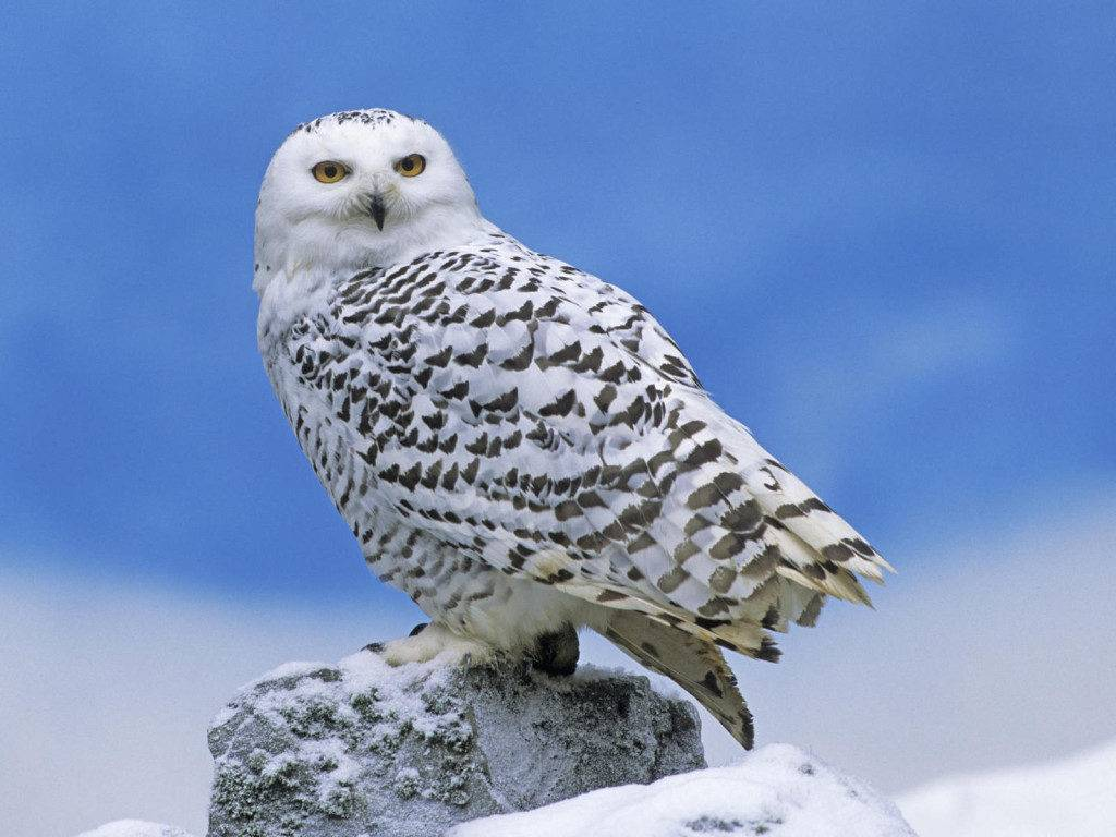 Белая сова (полярная сова) (лат. Bubo scandiacus, Nyctea scandiaca)