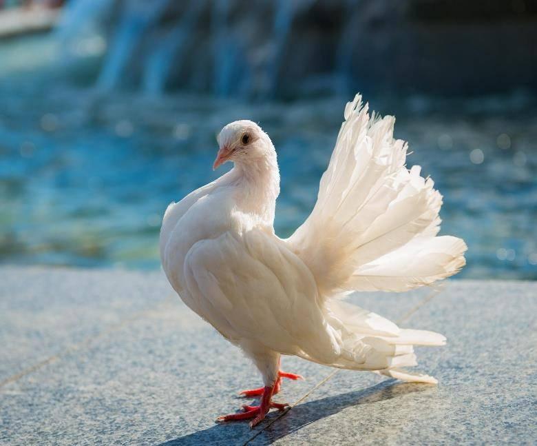 Белый голубь фото