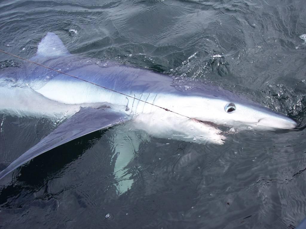 Большая голубая акула фото