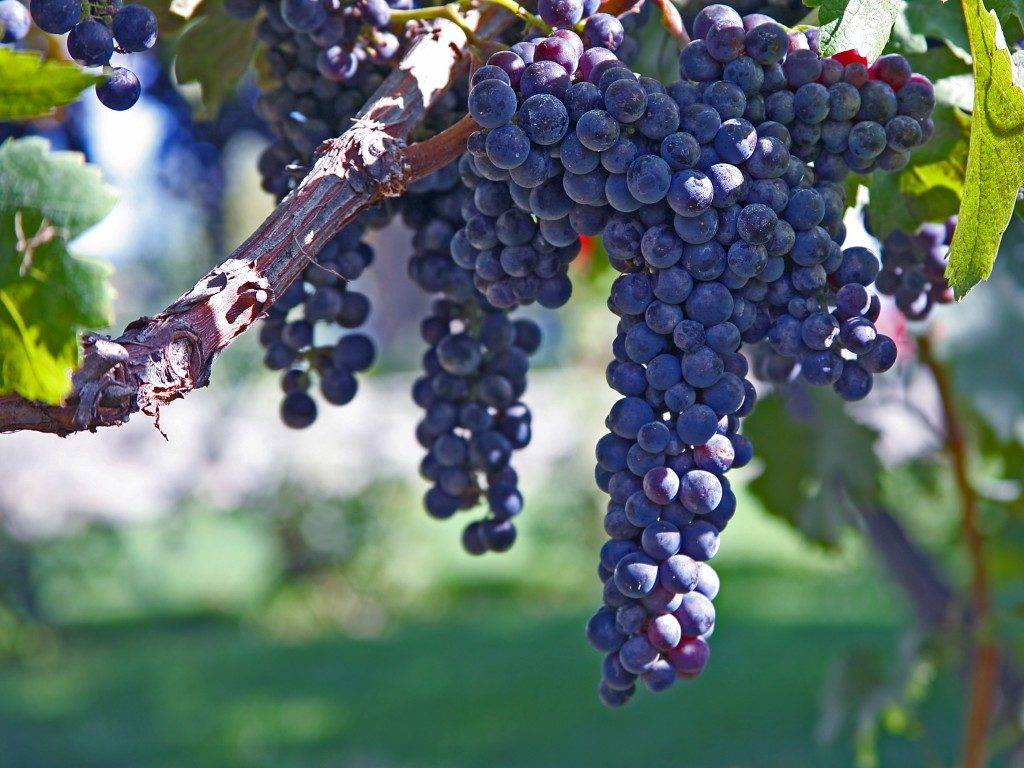 Виноград кишмиш черный фото