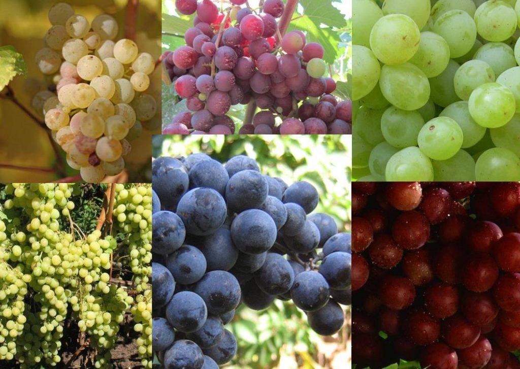 Виноград мускат фото (разные мускатные сорта)