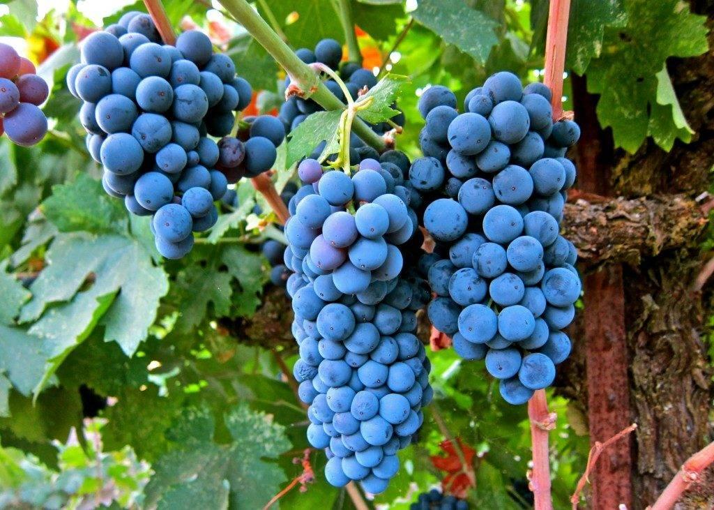 Виноград сорта Мерло