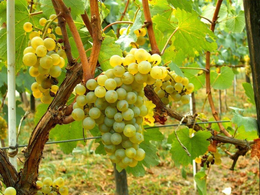 Виноград сорта Шардоне