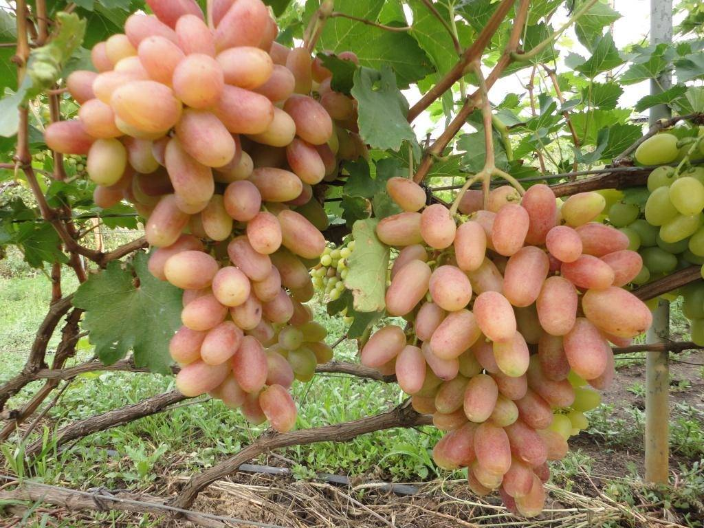 Виноград сорта преображение фото
