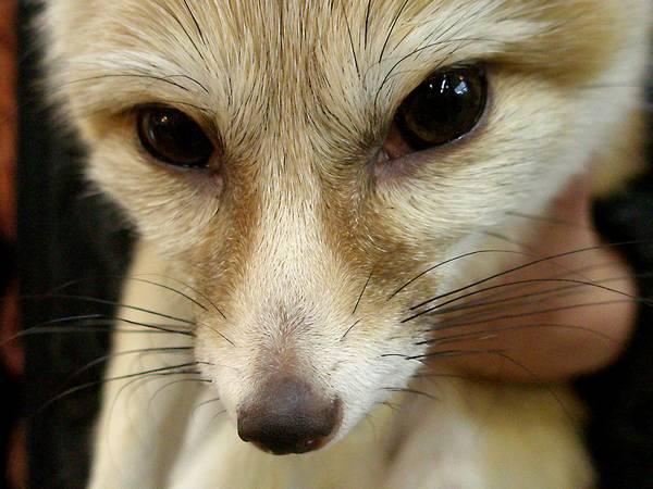 Глаза фенека фото (лат. Vulpes zerda)