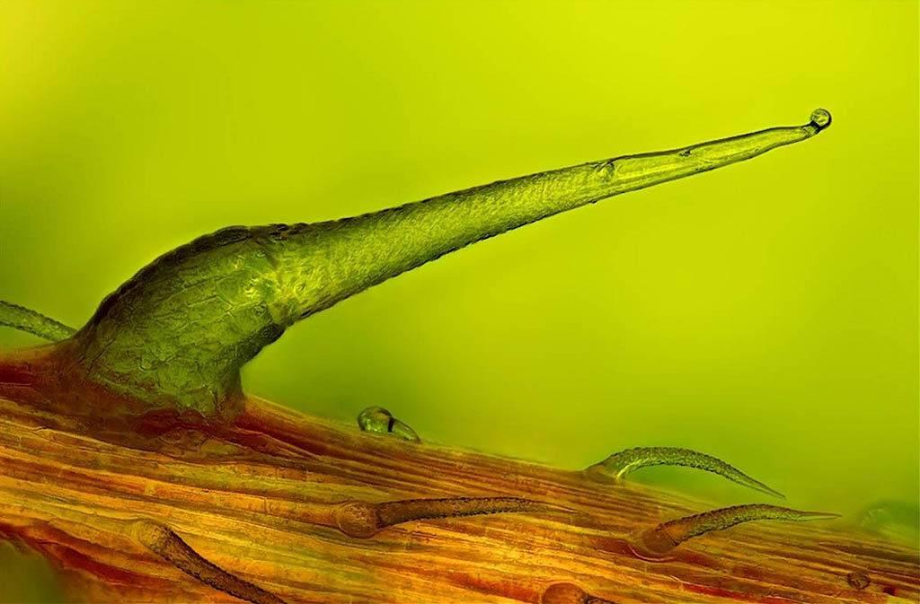 Жгучий наконечник крапивы двудомной