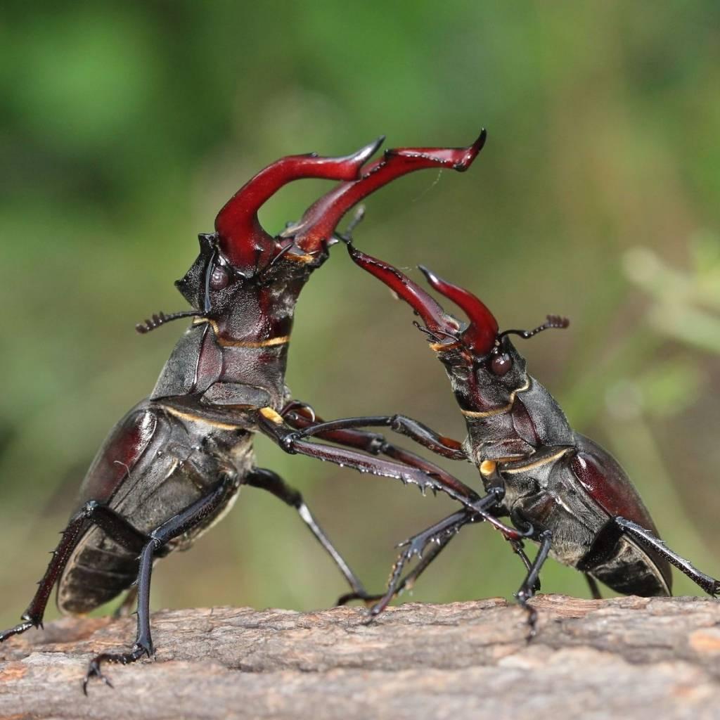 Жук-олень против жука-оленя фото