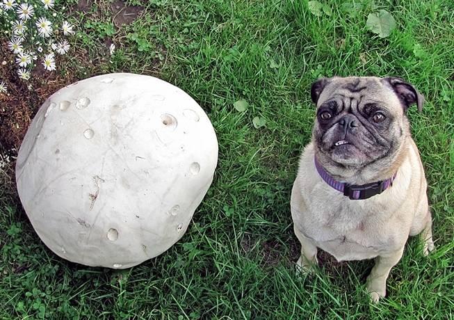 Как выглядит один из самых больших грибов в мире
