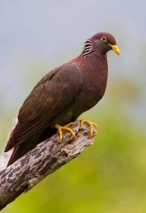 Коморский голубь