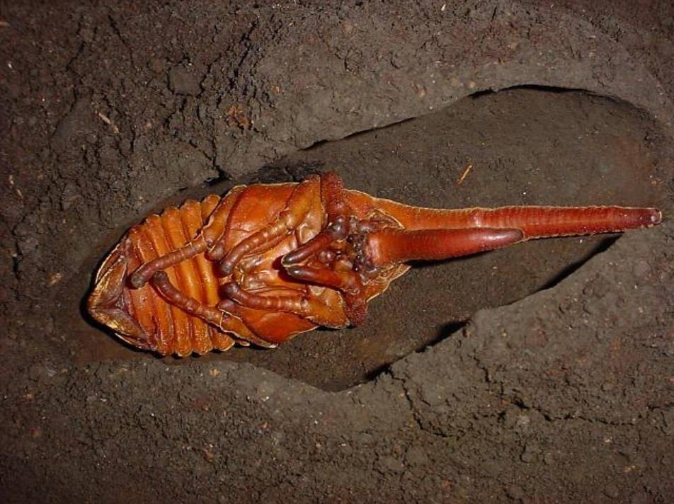 Куколка жука-геркулеса фото