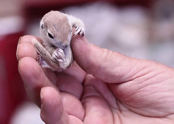 Мышиная белка – самая маленькая белка в мире